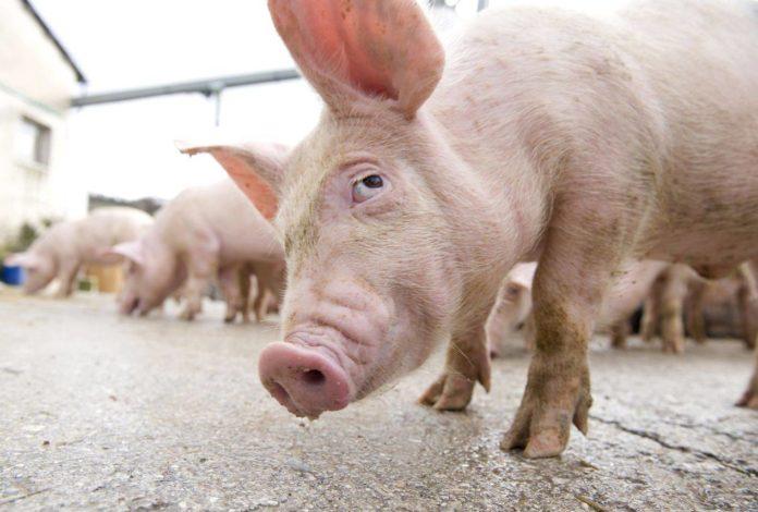 pesta porcină africană carne de porc